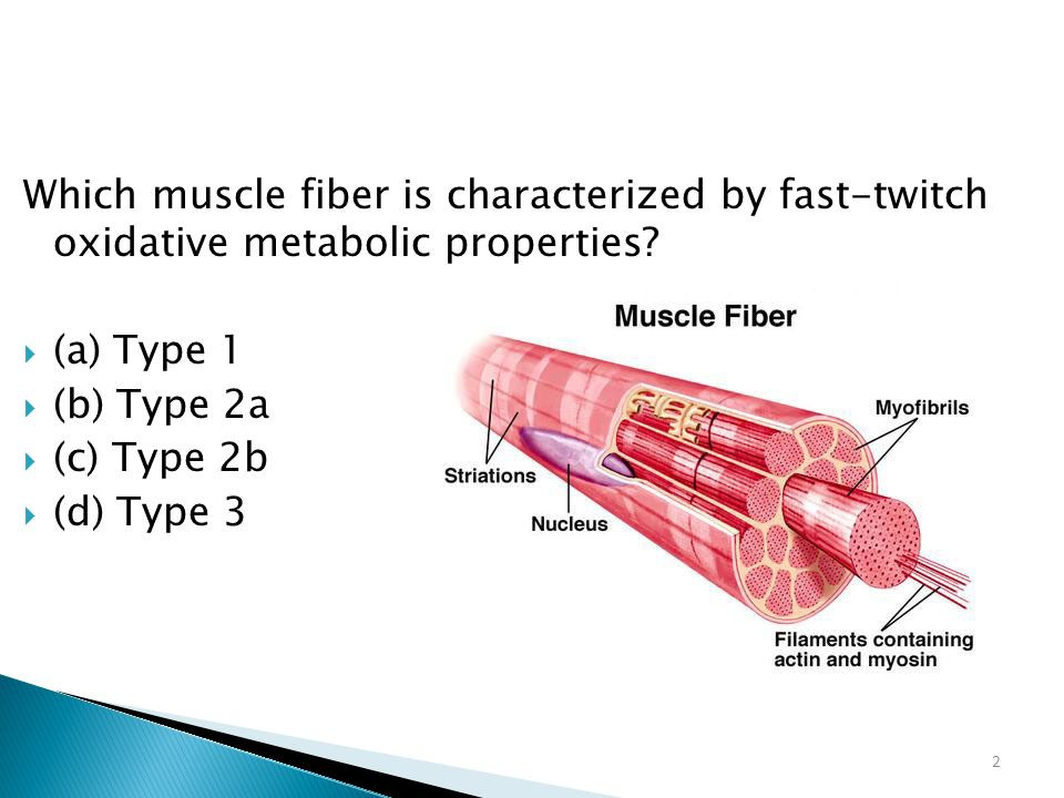 Which muscle fiber is characterized by fast-twitch oxidative metabolic properties