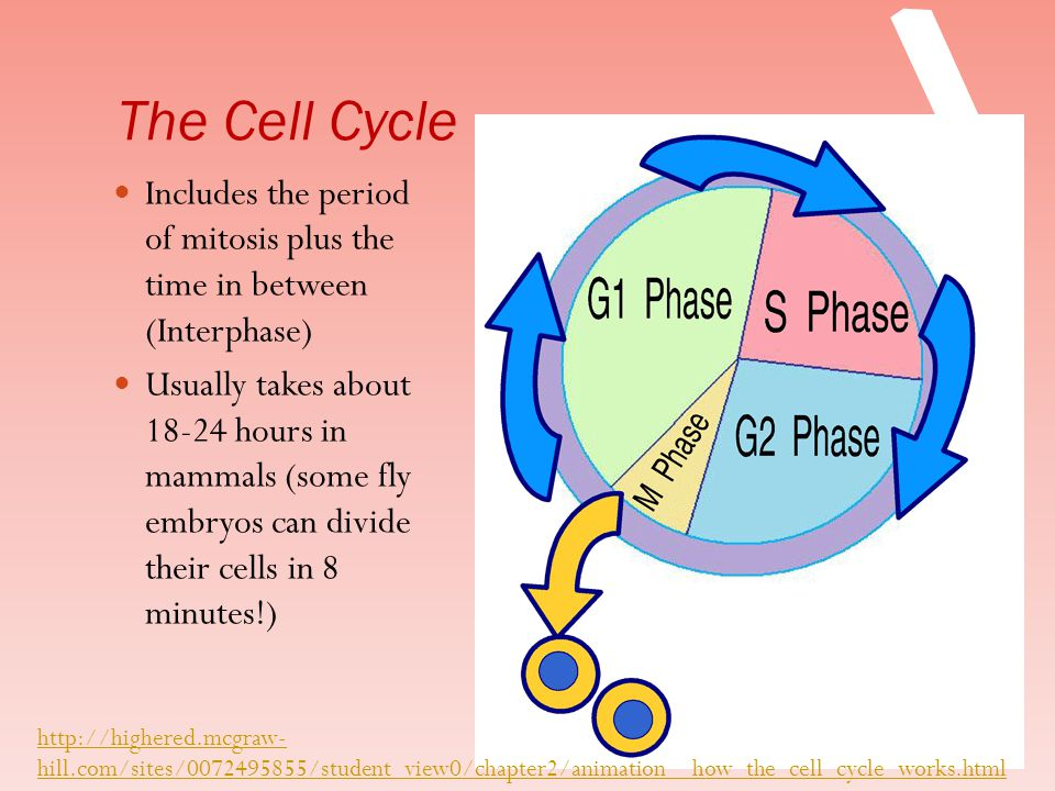 The Cell Cycle Includes the period of mitosis plus the time in between (Interphase)