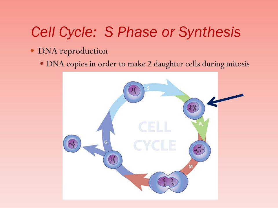 Cell Cycle: S Phase or Synthesis