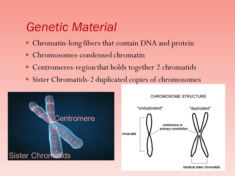 Genetic Material Chromatin-long fibers that contain DNA and protein