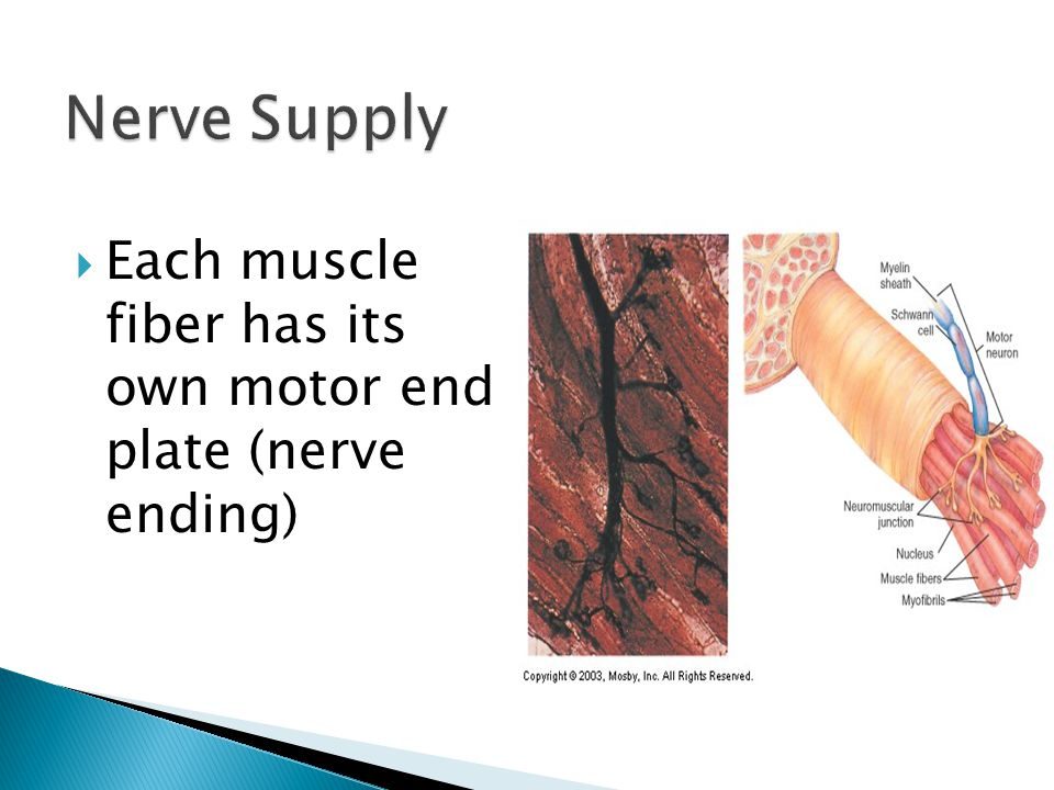 Nerve Supply Each muscle fiber has its own motor end plate (nerve ending)