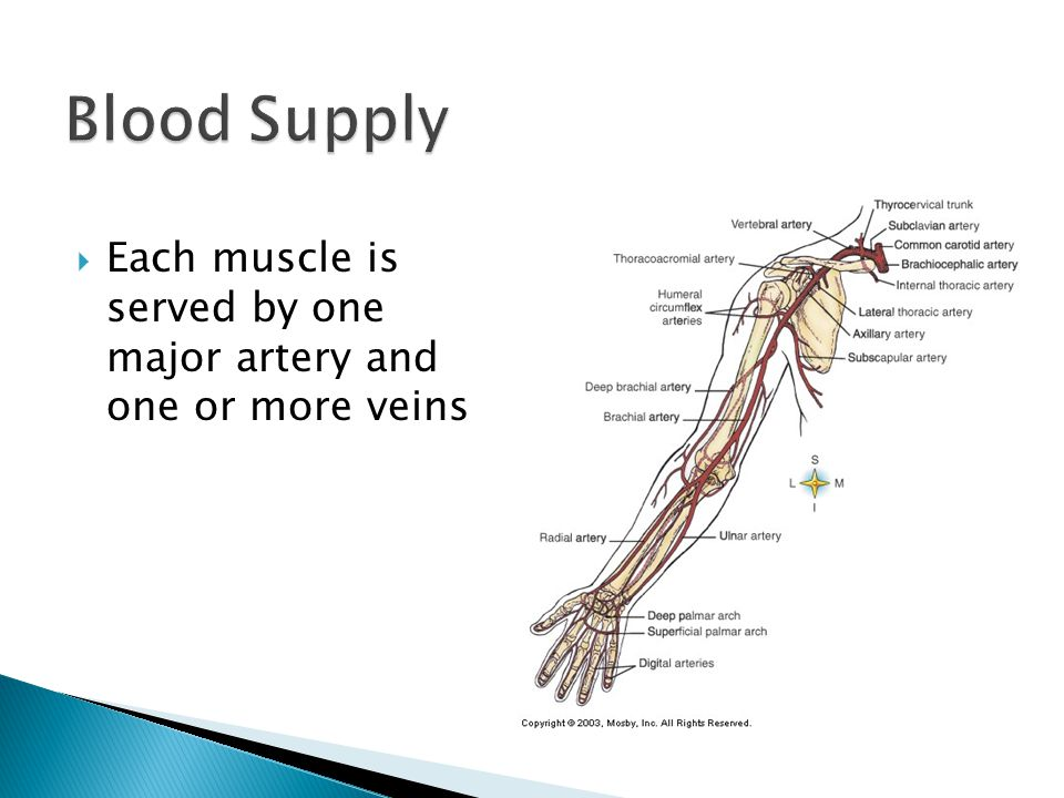 Blood Supply Each muscle is served by one major artery and one or more veins