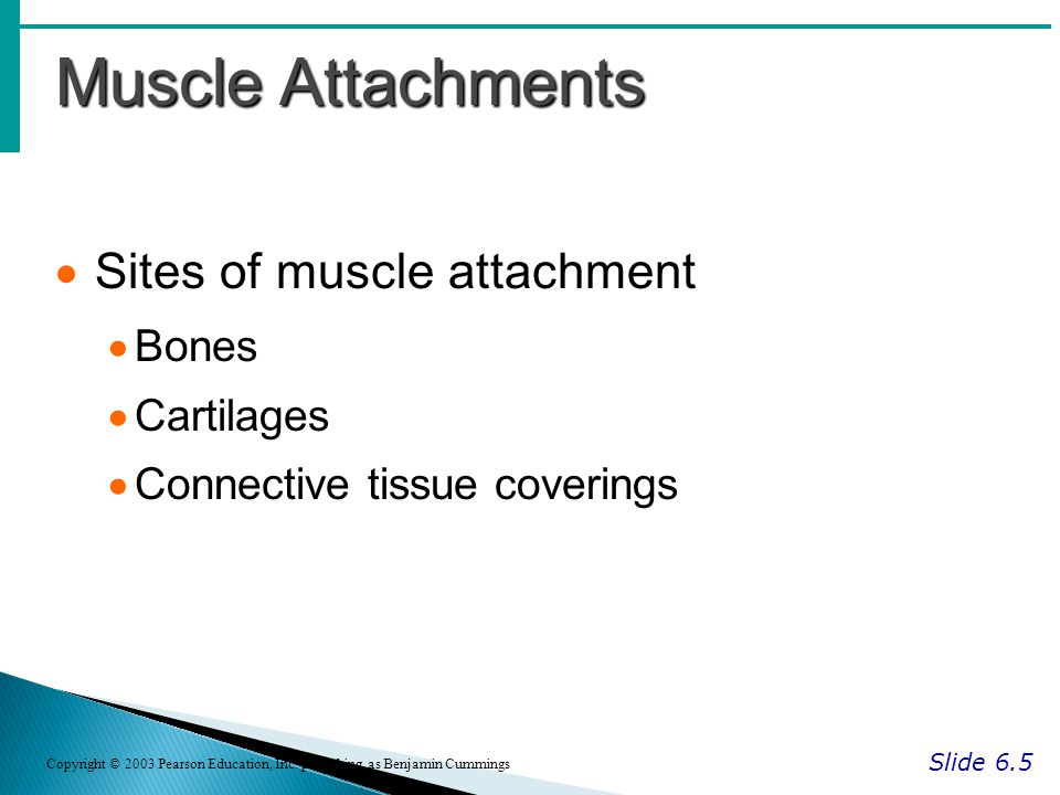 Muscle Attachments Sites of muscle attachment Bones Cartilages