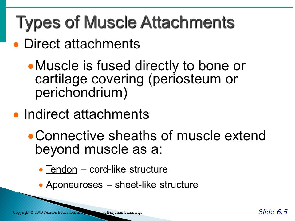 Types of Muscle Attachments