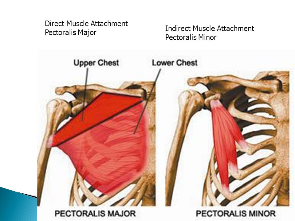 Direct Muscle Attachment