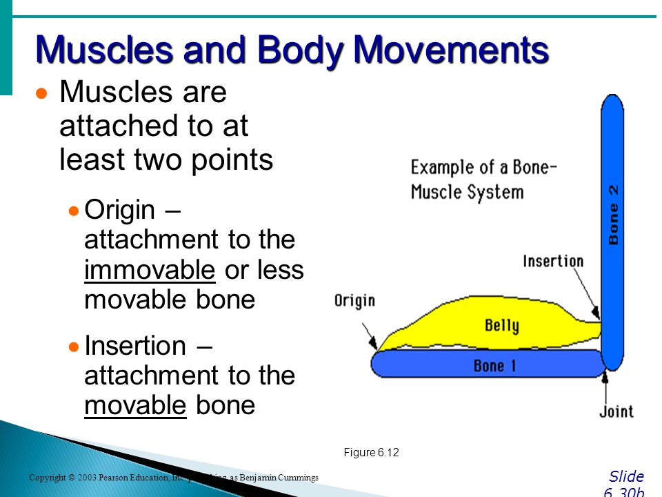 Muscles and Body Movements