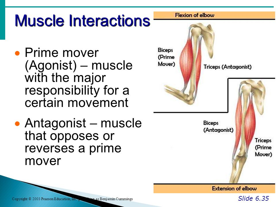 Muscle Interactions Prime mover (Agonist) – muscle with the major responsibility for a certain movement.