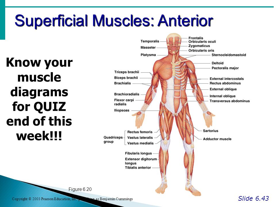 Know your muscle diagrams for QUIZ end of this week!!!