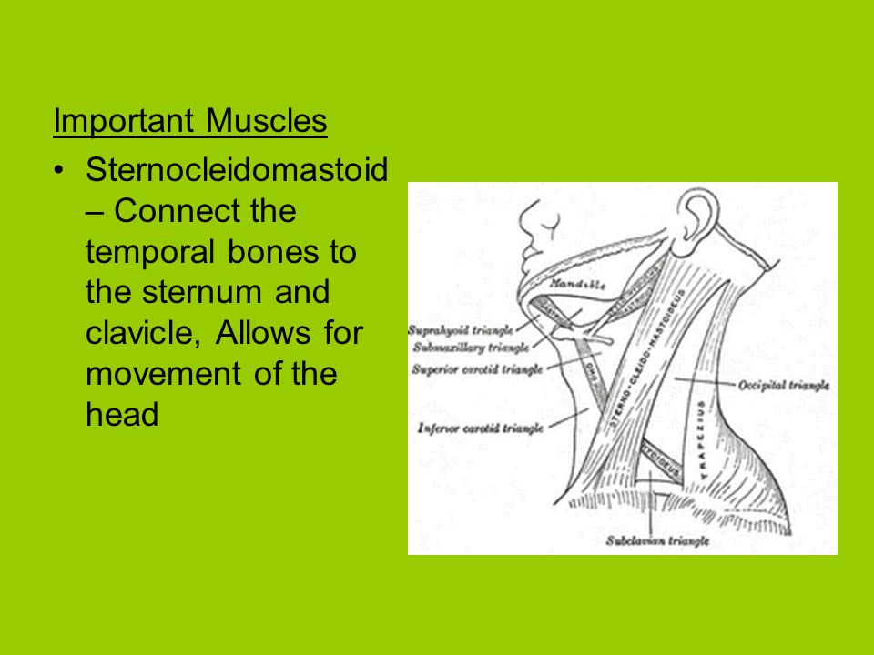Important Muscles Sternocleidomastoid – Connect the temporal bones to the sternum and clavicle, Allows for movement of the head.