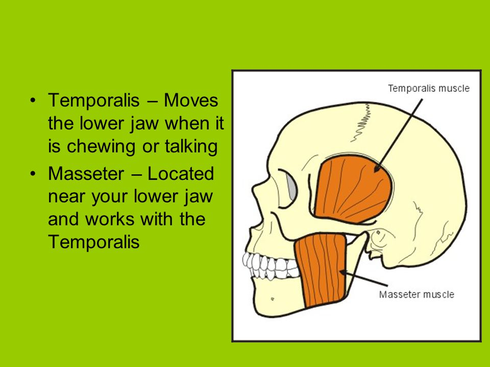 Temporalis – Moves the lower jaw when it is chewing or talking