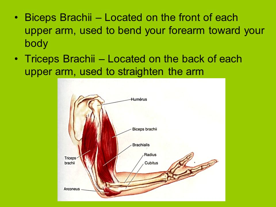 Biceps Brachii – Located on the front of each upper arm, used to bend your forearm toward your body