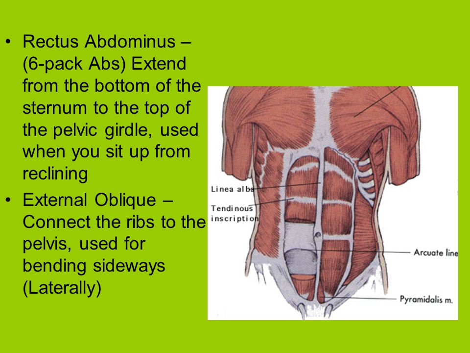 Rectus Abdominus – (6-pack Abs) Extend from the bottom of the sternum to the top of the pelvic girdle, used when you sit up from reclining