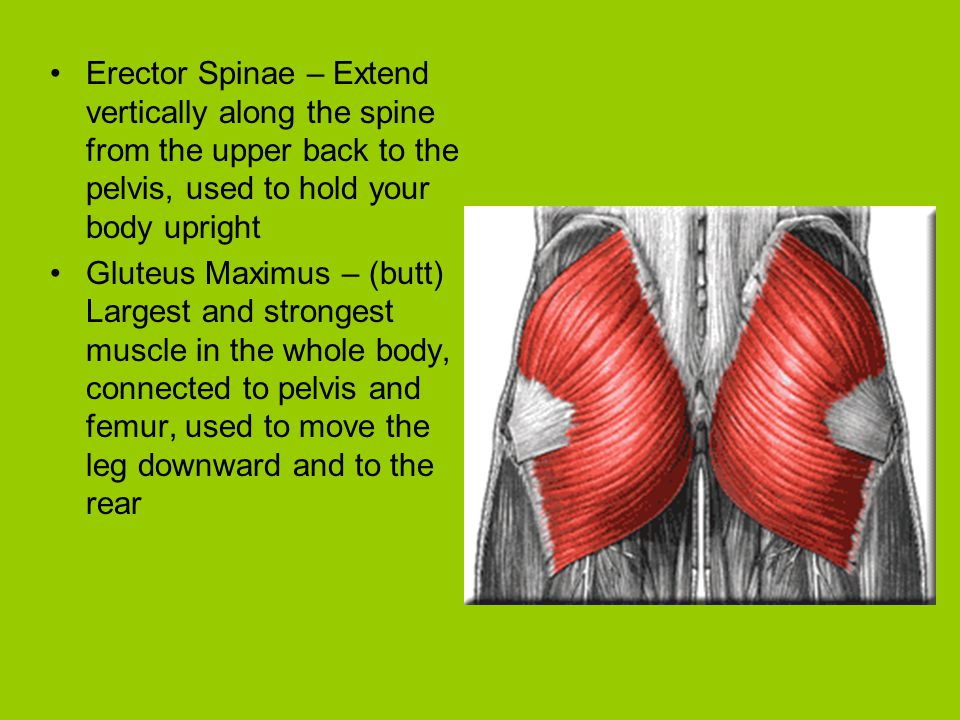 Erector Spinae – Extend vertically along the spine from the upper back to the pelvis, used to hold your body upright