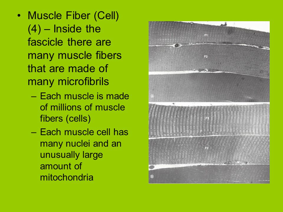 Muscle Fiber (Cell) (4) – Inside the fascicle there are many muscle fibers that are made of many microfibrils