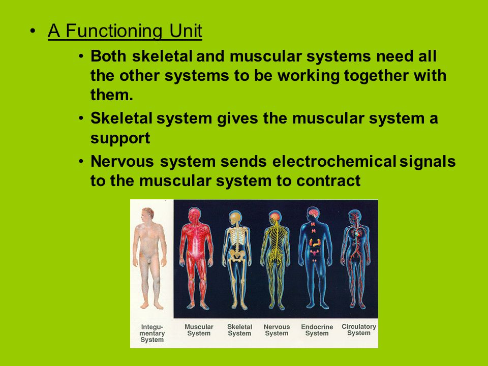 A Functioning Unit Both skeletal and muscular systems need all the other systems to be working together with them.