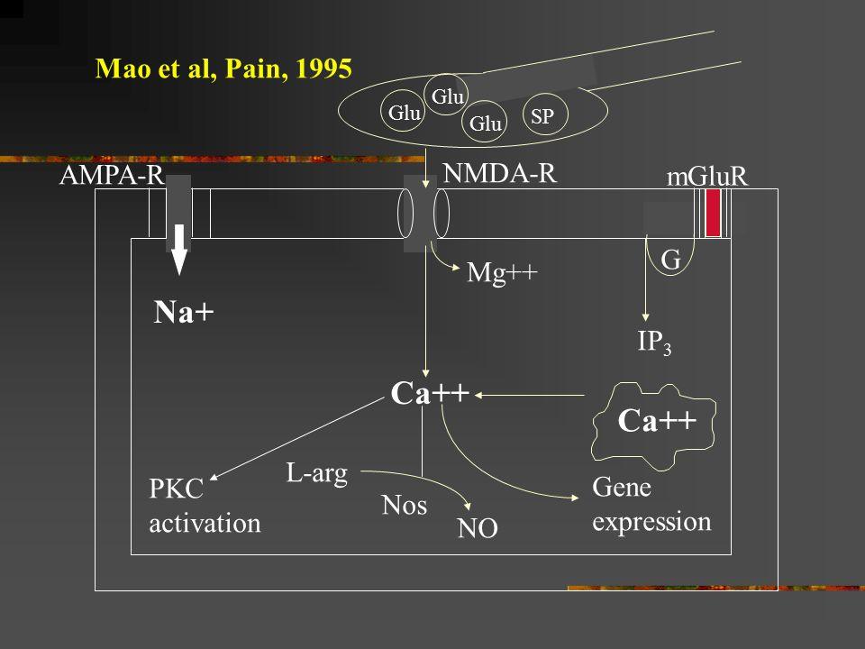 Na+ Ca++ Ca++ Mao et al, Pain, 1995 AMPA-R NMDA-R mGluR G Mg++ IP3