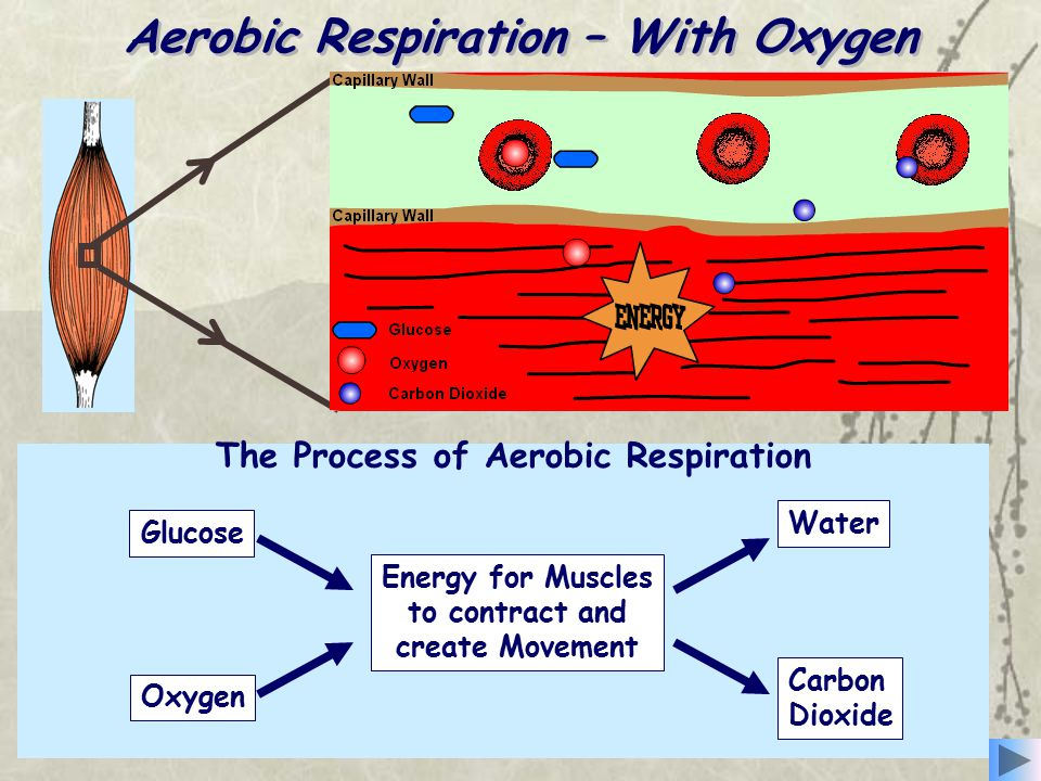 Aerobic Respiration – With Oxygen The Process of Aerobic Respiration