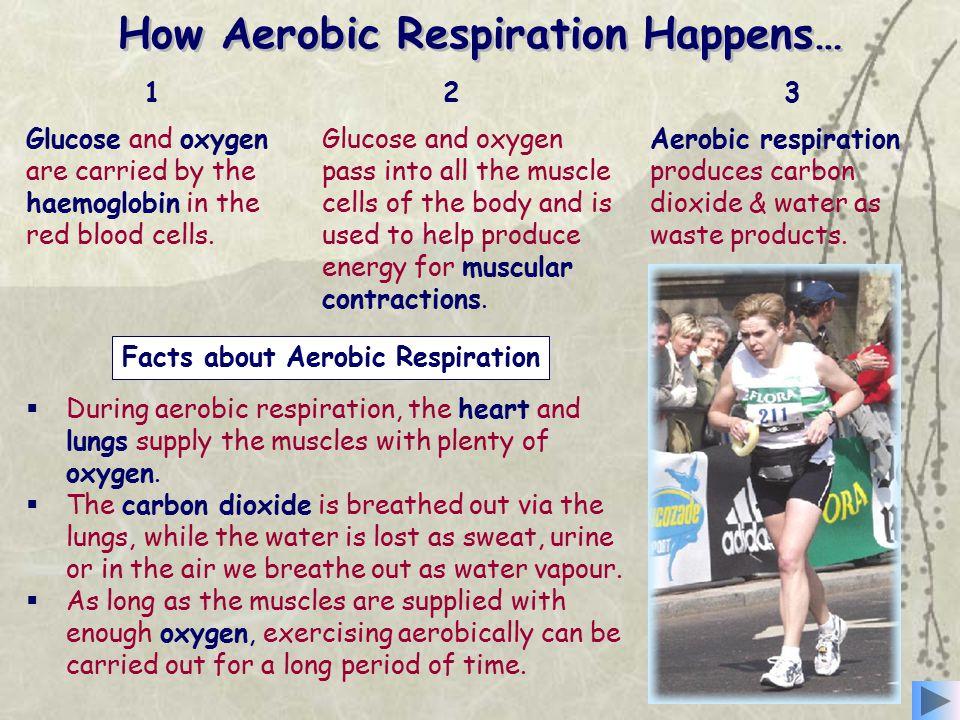How Aerobic Respiration Happens…