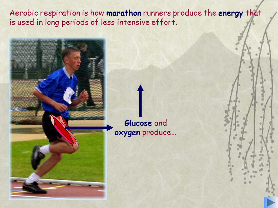 Aerobic respiration is how marathon runners produce the energy that is used in long periods of less intensive effort.