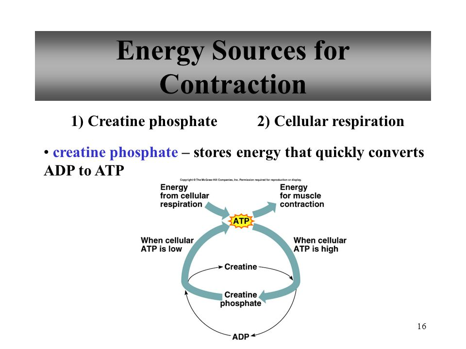 Energy Sources for Contraction