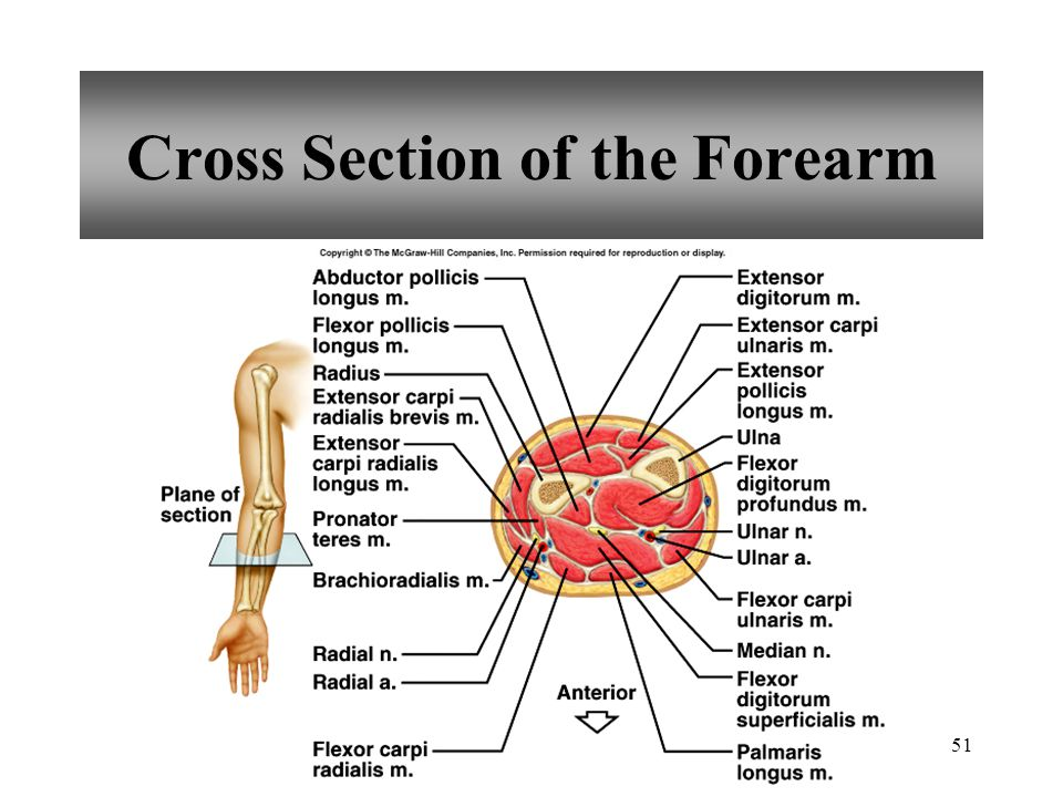 Cross Section of the Forearm