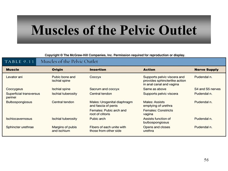 Muscles of the Pelvic Outlet