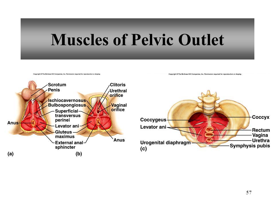 Muscles of Pelvic Outlet