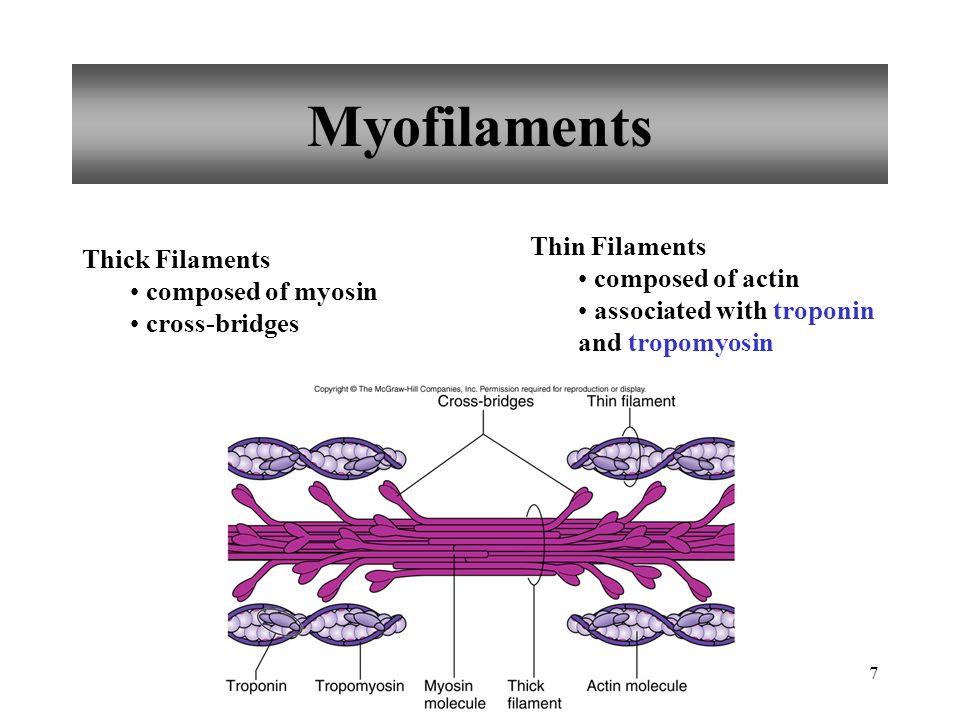 Myofilaments Thin Filaments Thick Filaments composed of actin