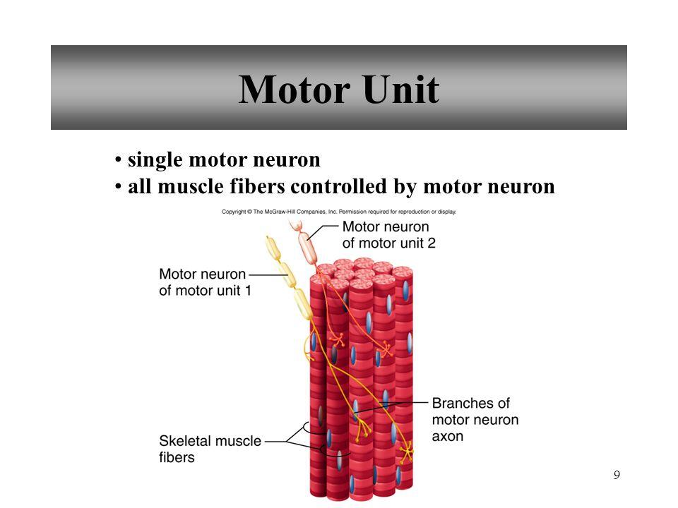 Motor Unit single motor neuron