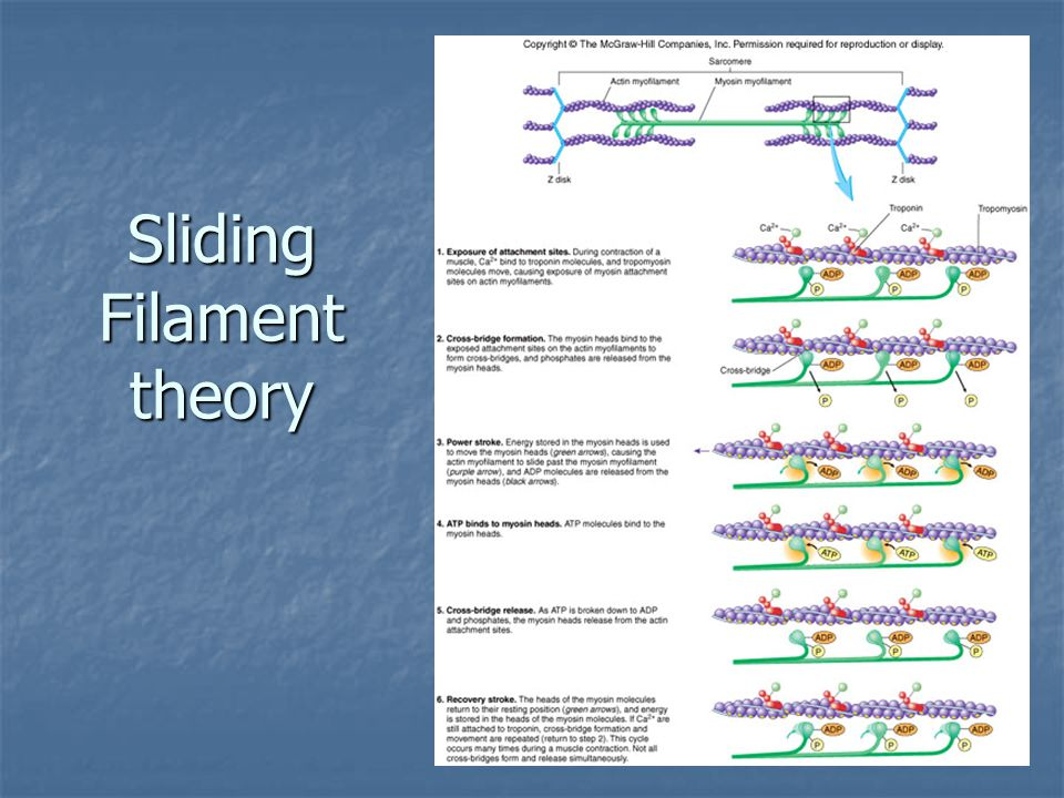 Sliding Filament theory