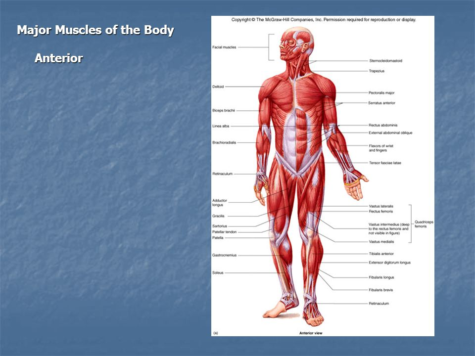 Major Muscles of the Body Anterior