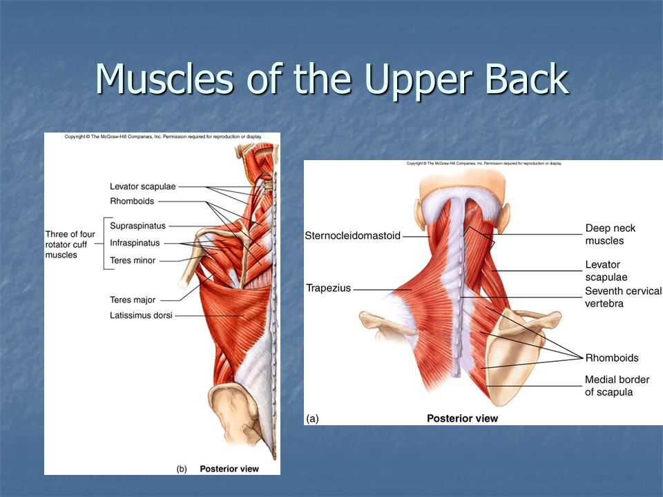 Muscles of the Upper Back