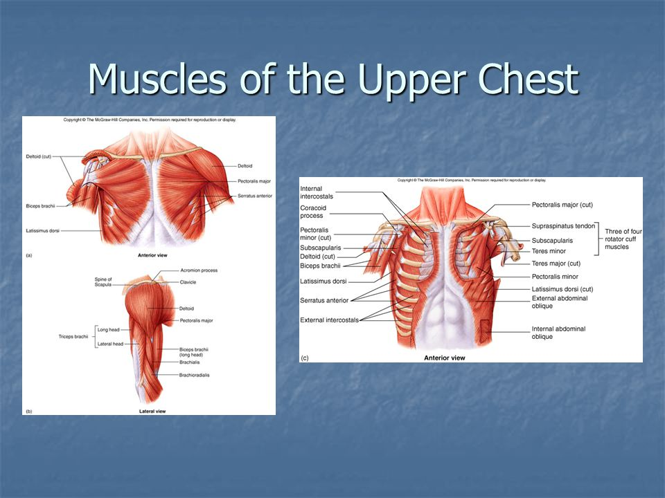 Muscles of the Upper Chest