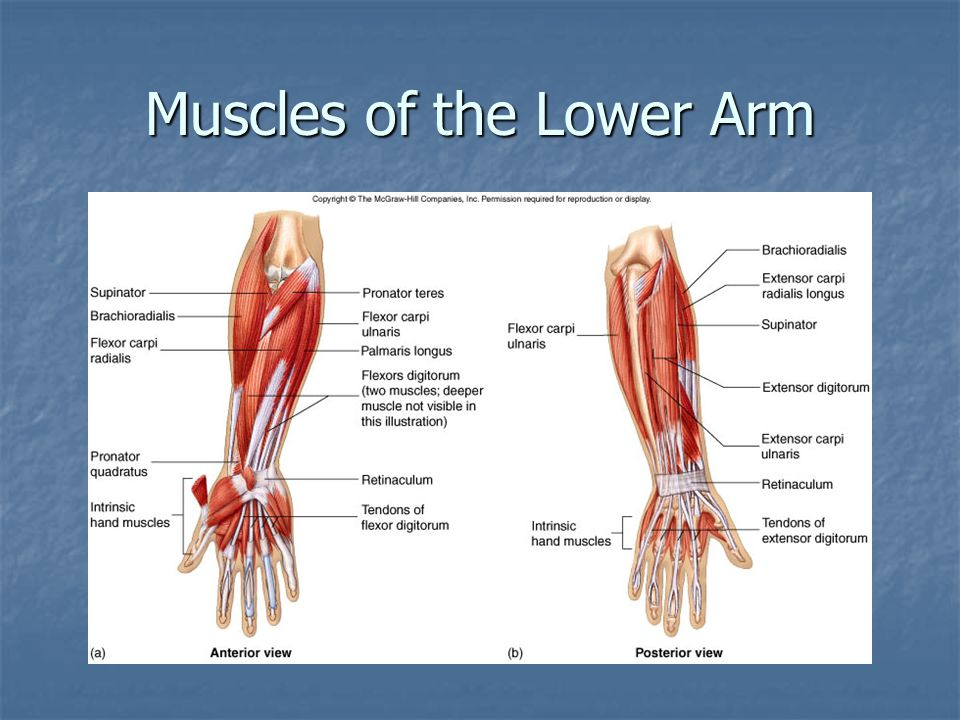 Muscles of the Lower Arm