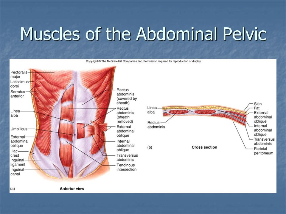 Muscles of the Abdominal Pelvic