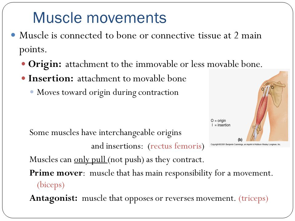 physiology presentation on bone growth muscular Understanding anatomy & physiology: a visual understanding anatomy & physiology: a visual, auditory, interactive approach bone formation and bone growth.