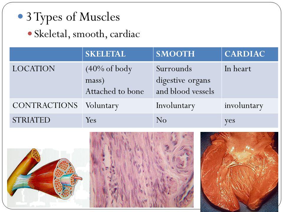 3 Types of Muscles Skeletal, smooth, cardiac SKELETAL SMOOTH CARDIAC