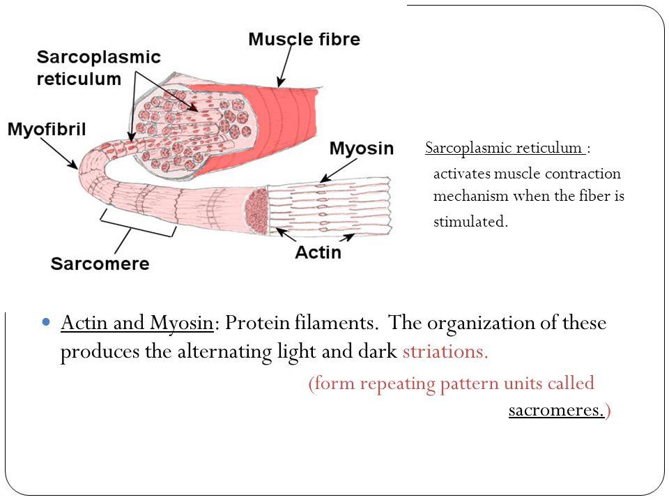 Sarcoplasmic reticulum :