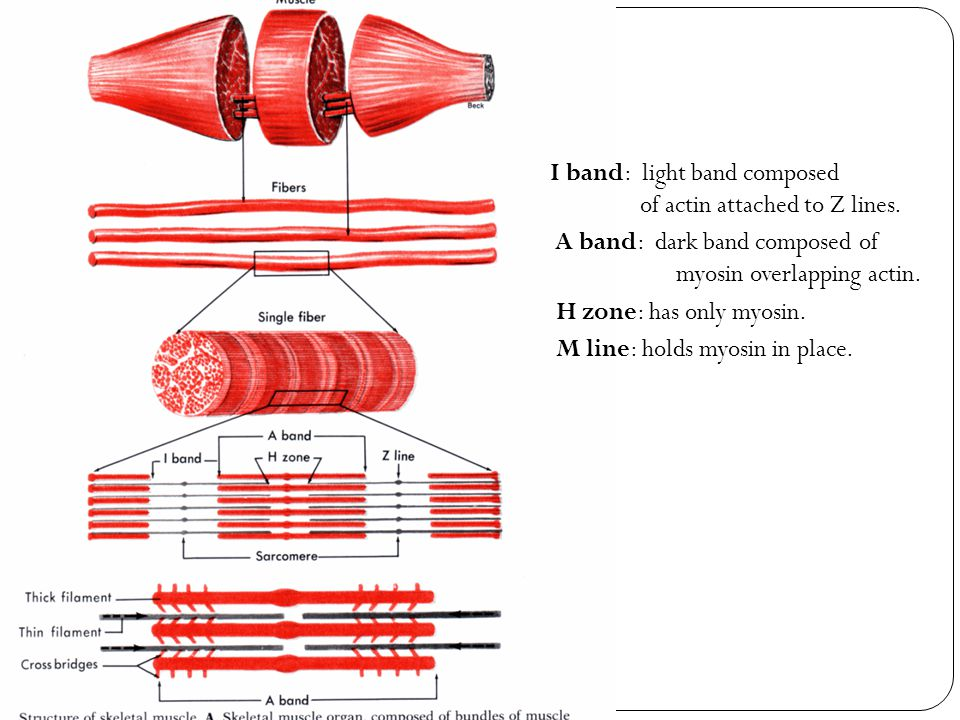 I band: light band composed of actin attached to Z lines