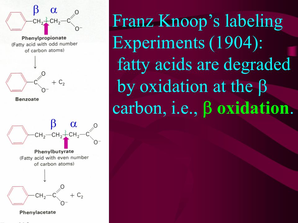 Franz Knoop's labeling Experiments (1904): fatty acids are degraded