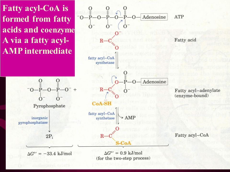 Fatty acyl-CoA is formed from fatty acids and coenzyme A via a fatty acyl- AMP intermediate