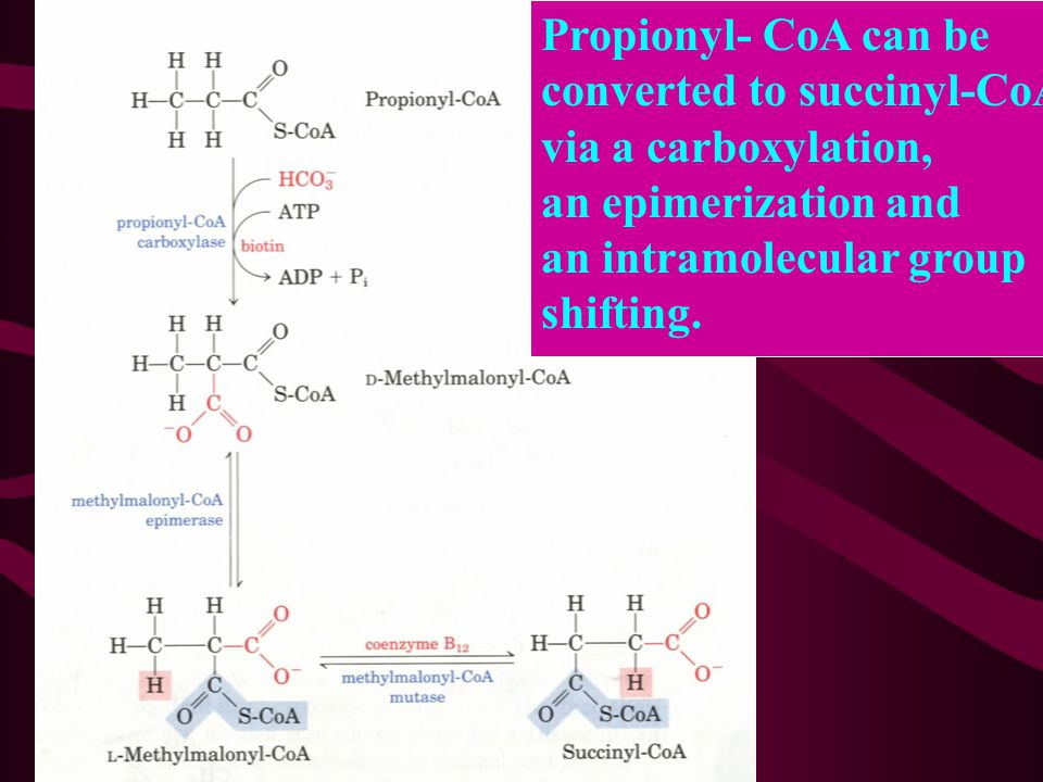 Propionyl- CoA can be converted to succinyl-CoA. via a carboxylation, an epimerization and. an intramolecular group.