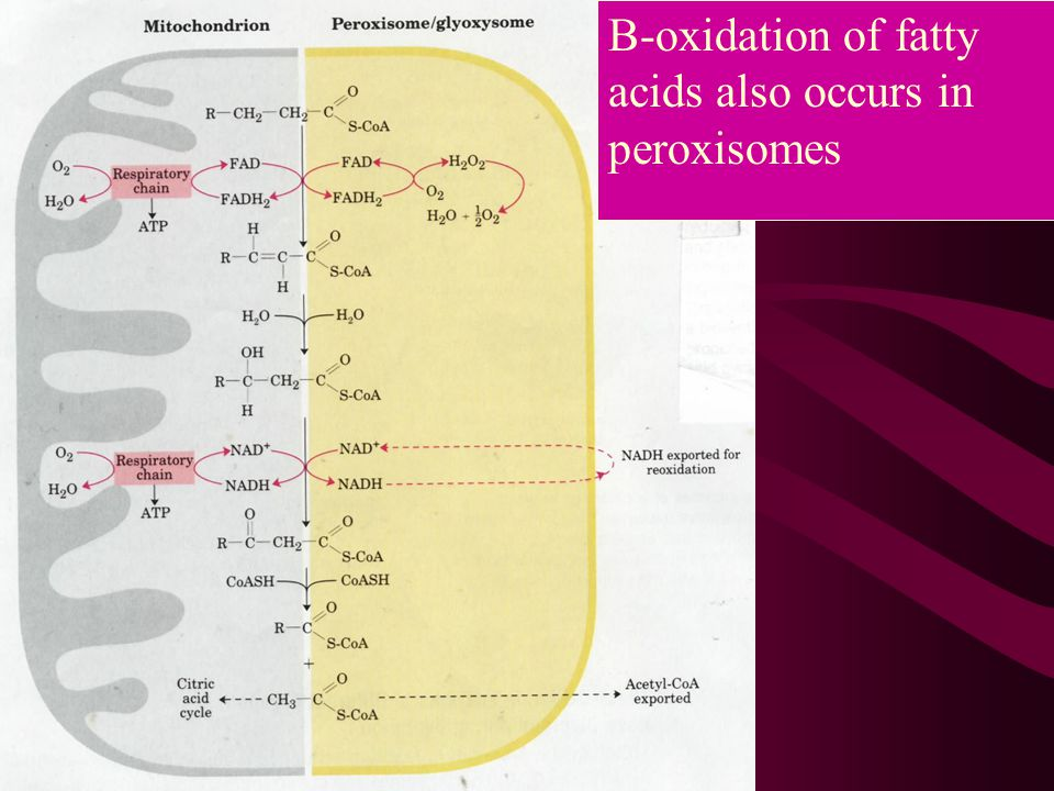 B-oxidation of fatty acids also occurs in peroxisomes