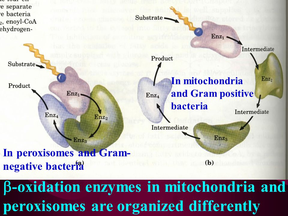 b-oxidation enzymes in mitochondria and