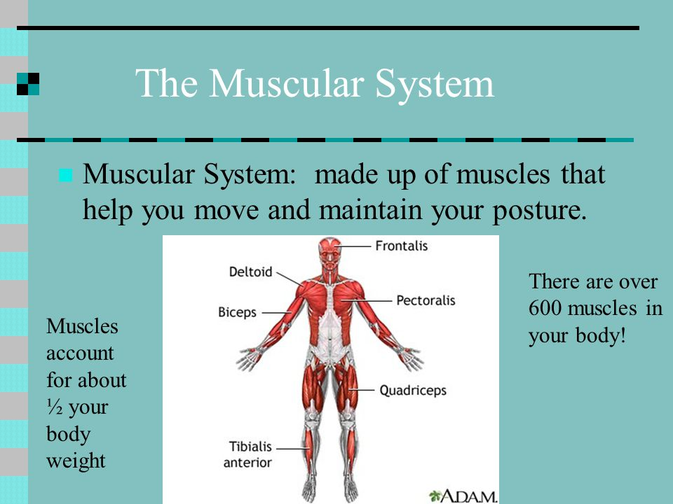 The Muscular System Muscular System: made up of muscles that help you move and maintain your posture.