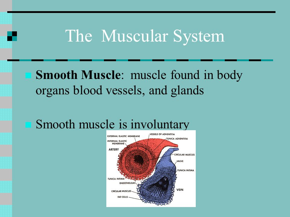 The Muscular System Smooth Muscle: muscle found in body organs blood vessels, and glands.