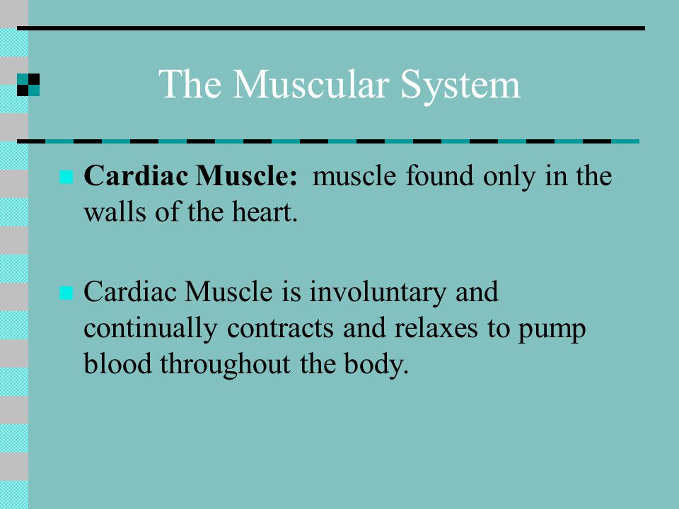 The Muscular System Cardiac Muscle: muscle found only in the walls of the heart.