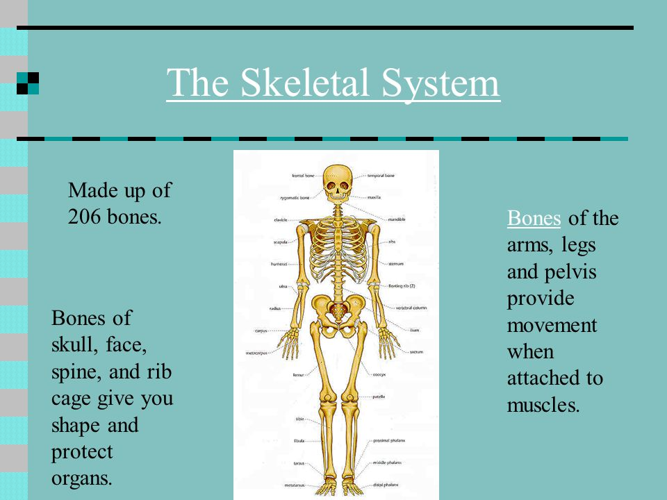 The Skeletal System Made up of 206 bones.