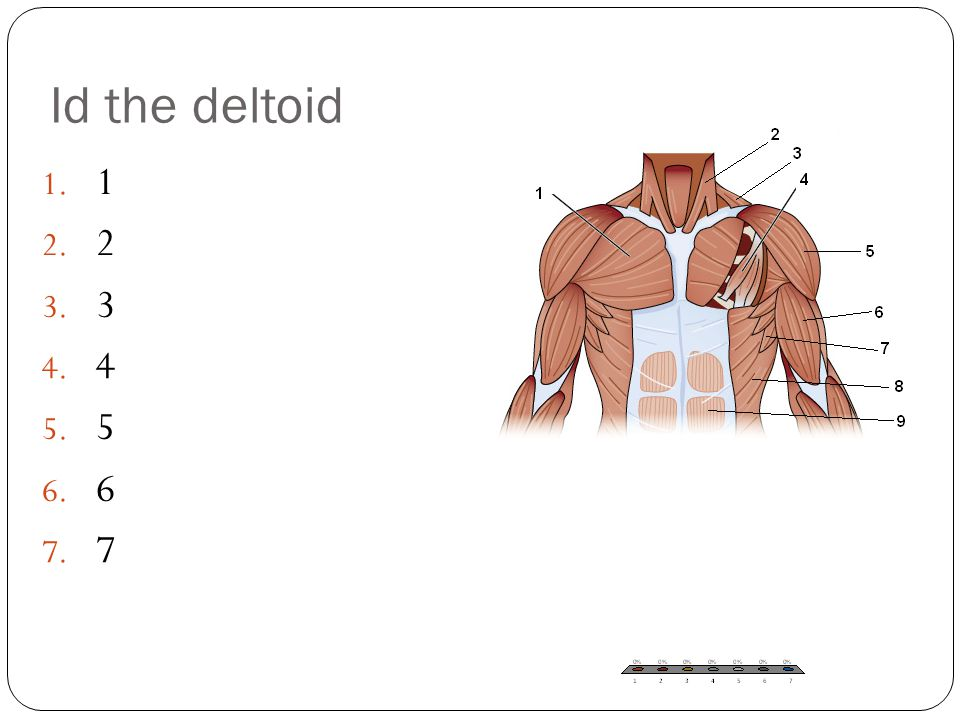 Id the deltoid 1 2 3 4 5 6 7