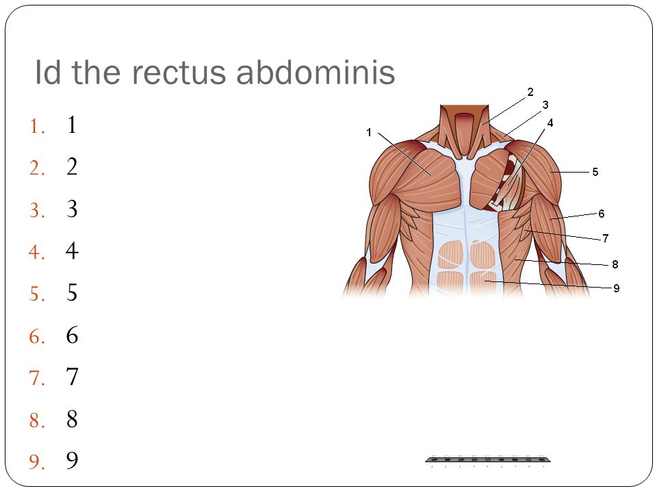 Id the rectus abdominis